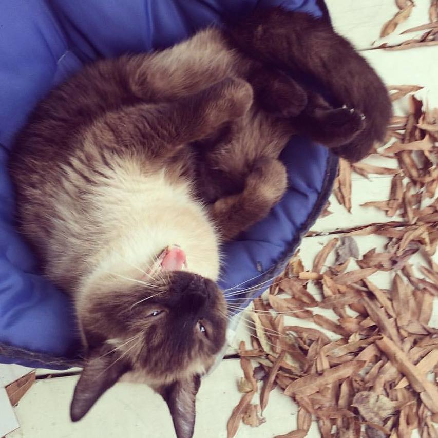 A crazy-looking Siamese mix cat curled up in a chair
